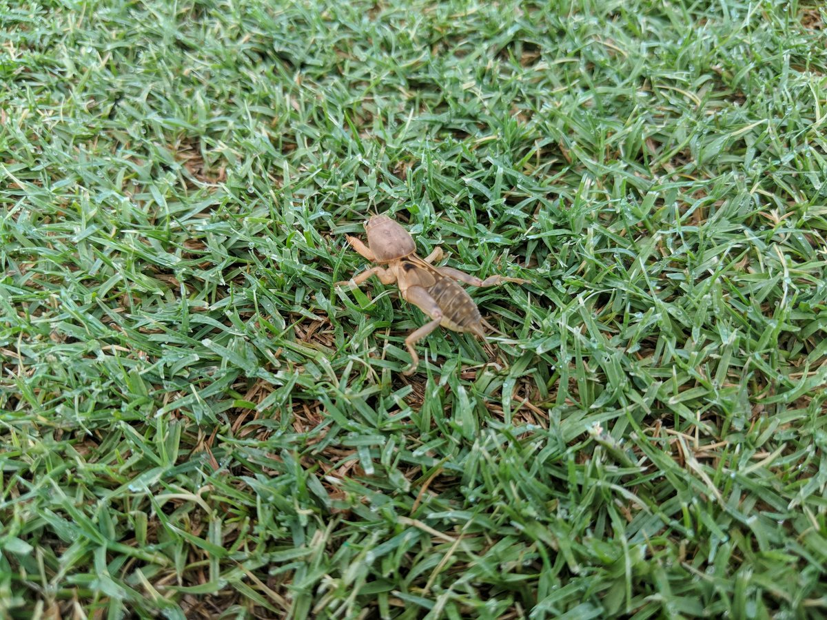 Nothing better than groggy Mole Crickets at LFCC on their way to never never land...Lil PITA'S #leavemyturfalone<br>http://pic.twitter.com/R6pit4813S