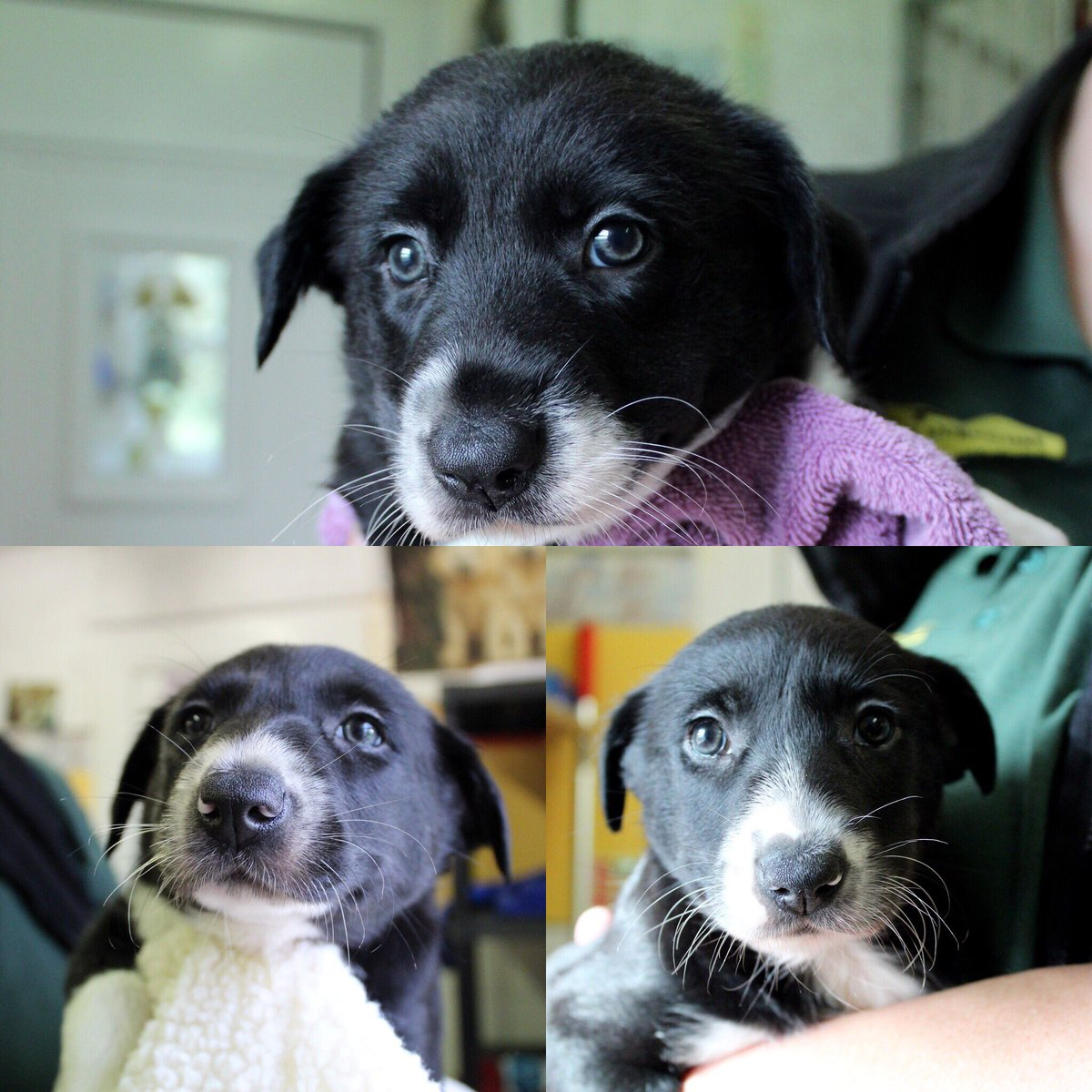 💛 Jay, Jinx & Jemma 💛 here to brighten your Wednesday 😍 these beautiful girls are nearly ready to find their special homes 🏡 #adifl #AdoptDontShop #puppylove #cute #bordercollie @DogsTrust