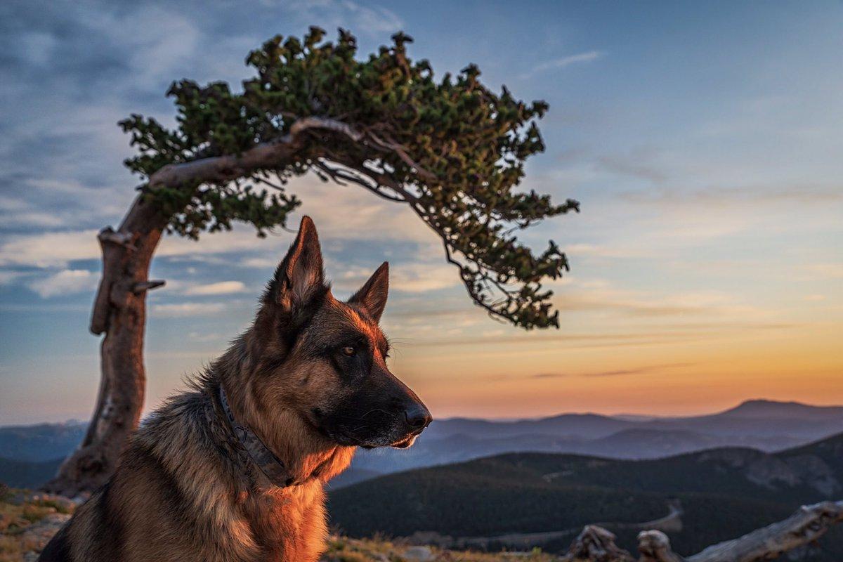 """@mnryno34: Our pet German Shepherd enjoying a Colorado sunrise. #GermanShepherd #Colorado""<br>http://pic.twitter.com/bJ8lMGByKK"
