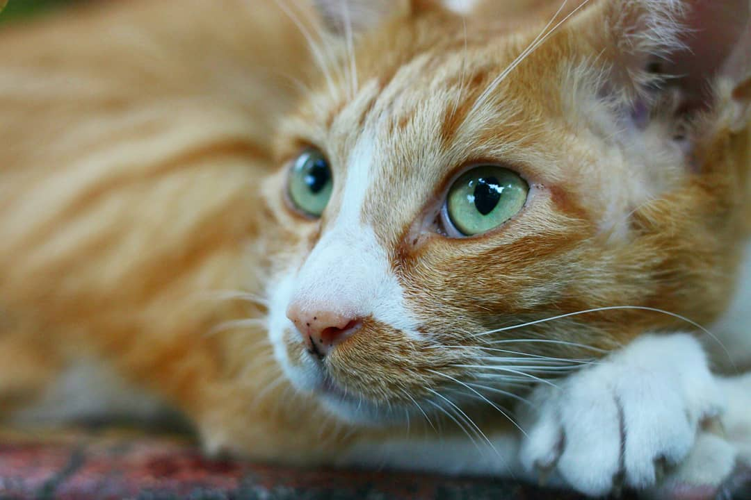 個性親人,粉紅色肉球,白襪子,胸前有一大片白毛,其餘都是橘色,一隻滿足我所有對貓咪偏好的天使貓 ( ;∀;) #中山 #貓咪 #橘貓 #cat #猫 #少女 #女の子