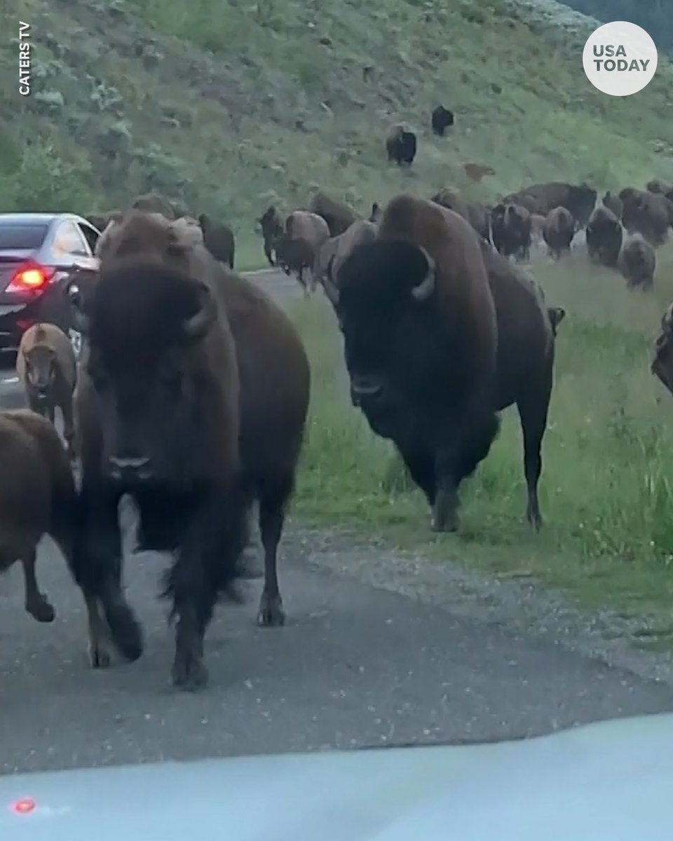 RT @USATODAY: A giant bison rammed into a family's rental car during a stampede in Yellowstone National Park. https://t.co/BtSQ8ObEer
