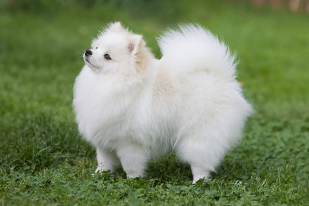 Pomeranian, Japanese Spitz, and Samoyed are just evolutionary stages of the same Pokemon.