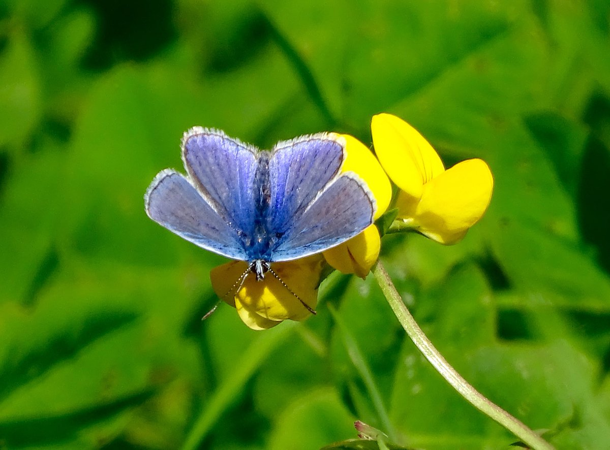 Common Blue this morning on Greater Birdsfoot Trefoil at Sherborne Glos for #WildWebsWednesday  #wildflowerhour <br>http://pic.twitter.com/tHUGPwAd6L