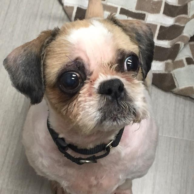 Lucky is a small dog with big eyes, which means it always looks like hes having an existential crisis. We get that. If youd like to meet this 9-year-old Shih Tzu mix, stop by the shelter today!