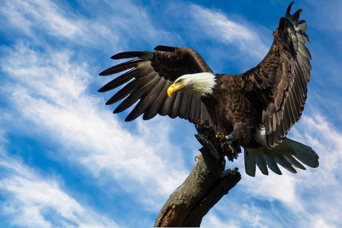 RT @TodaysBaldEagle: (Photo by Eleanor Abramson) #baldeagle #birdsofprey #raptors https://t.co/IZerfxCYX2