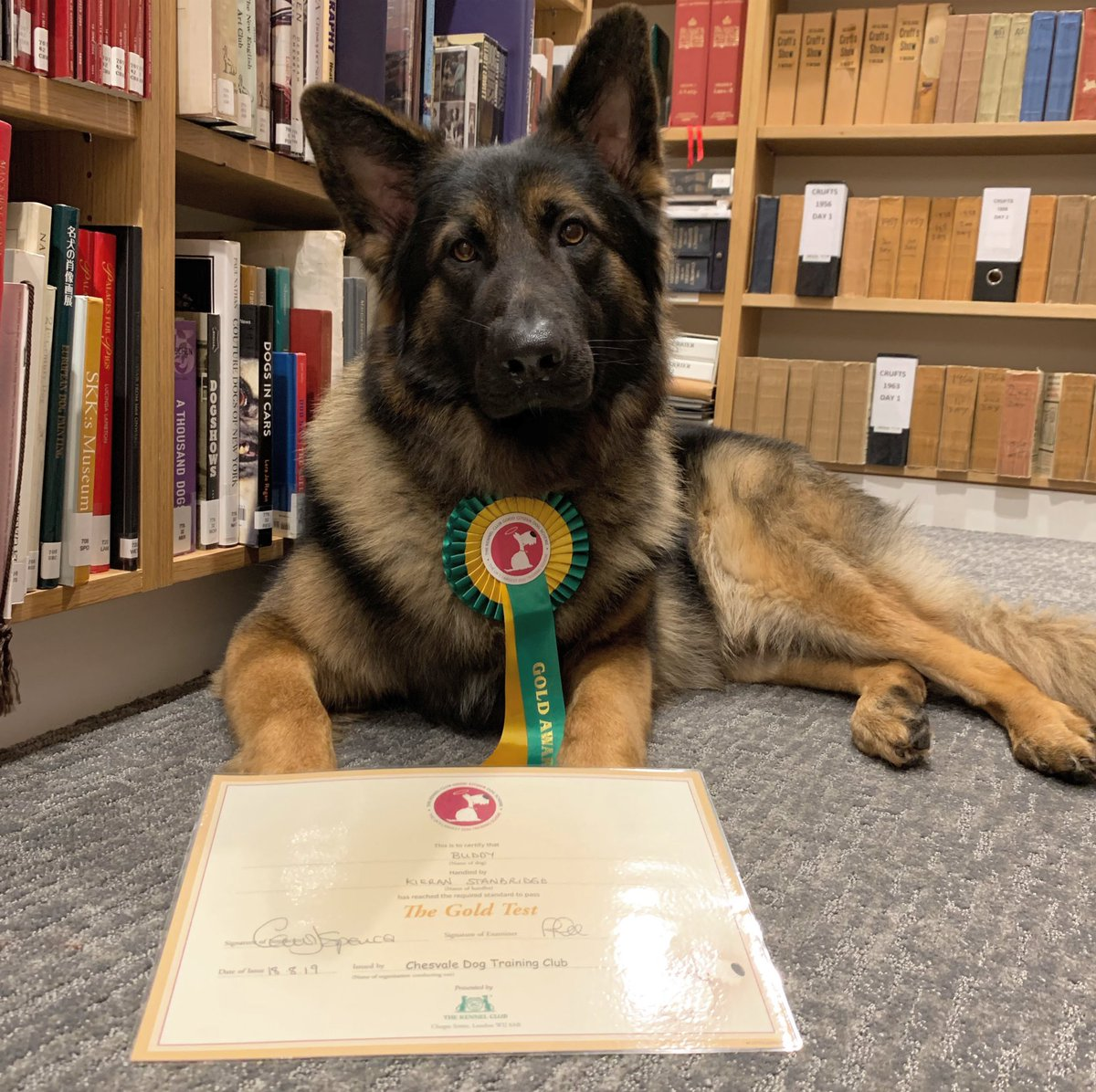 Congratulations to our very own office dog Buddy who has passed his GOLD @thekennelclubuk Good Citizen exam at only 18 months old, we're very proud of you! #officedog #GermanShepherd #KennelClubGoodCitizen<br>http://pic.twitter.com/SggztME3mZ