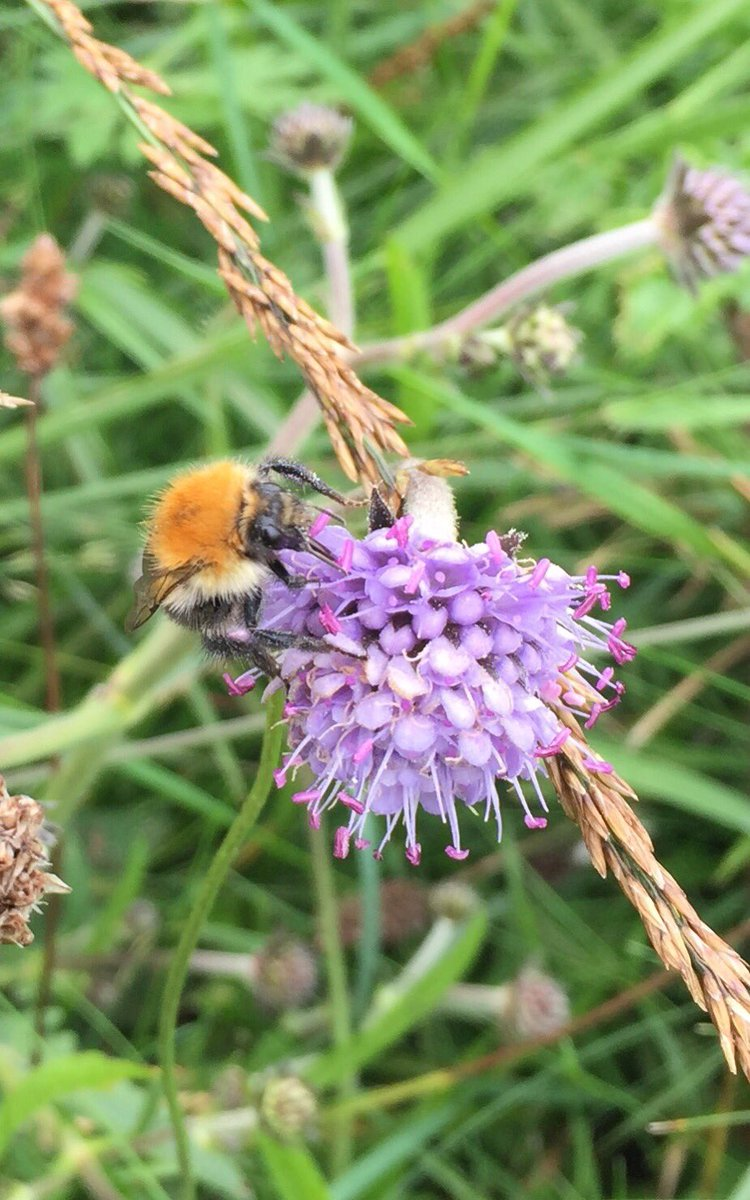 Growing in the dune slack behind Porth Neigwl on the Llŷn Peninsula today was Field Scabious, and tiny Autumn Gentians and Autumn Lady's Tress #wildflowerhour <br>http://pic.twitter.com/929VCJACZu