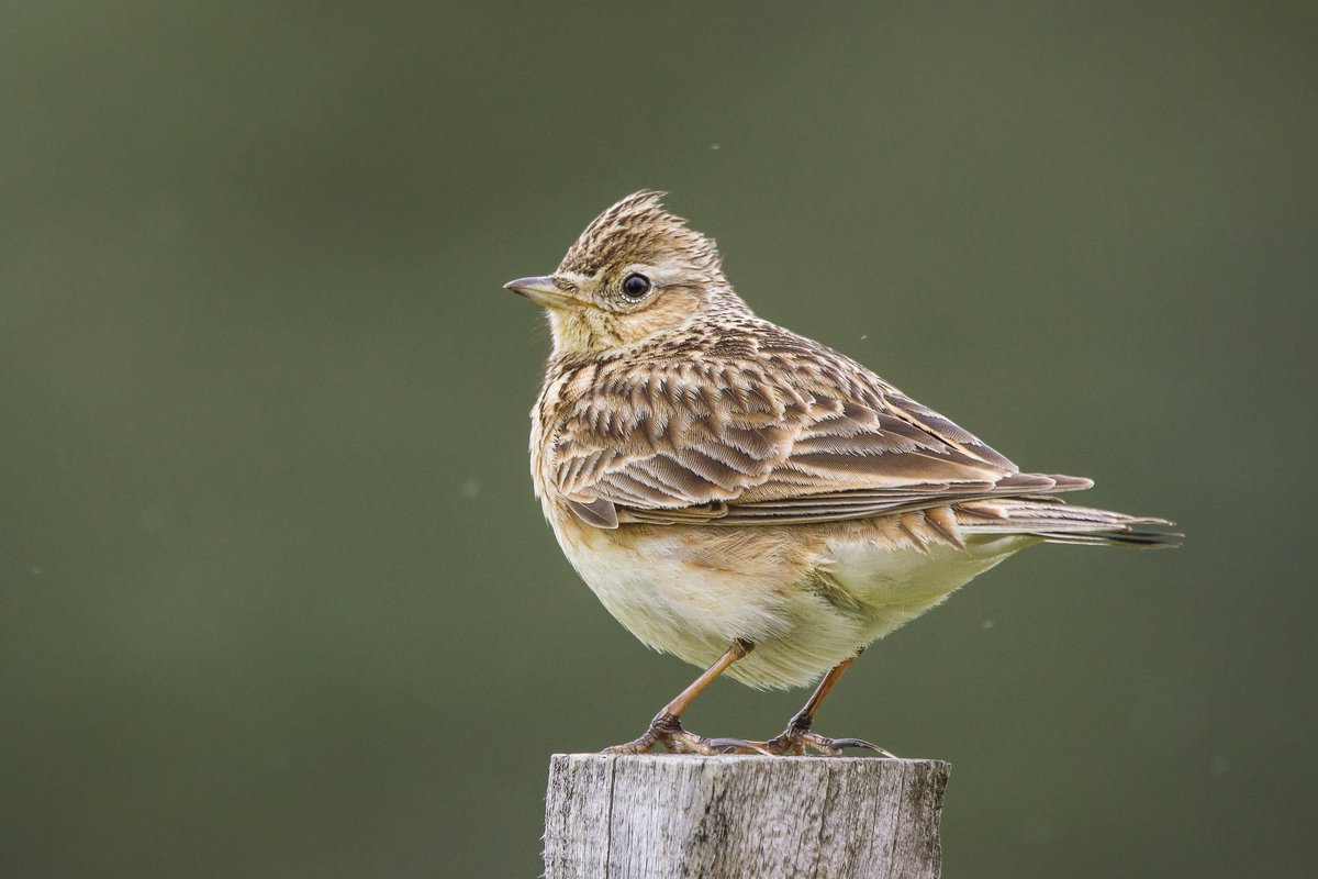 Up with the larks*? Want to hear me warble for @fsb_policy about @HS2ltd at c6.20am with @nickjourno on @jazzfm?jazzfm.com/player/ *Fun fact: apparently Skylarks sing first; before sunrise/the rest of the dawn chorus joins in. Skylark views on Govt VFM reviews are unknown