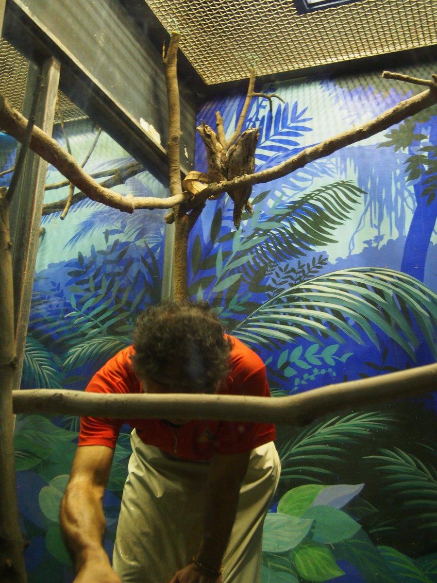 担当者は夕方頃にオーストラリアガマグチヨタカの部屋を掃除します。その背後で体を細めて、木の枝になりきる2羽の様子です。(企)#chibazoo