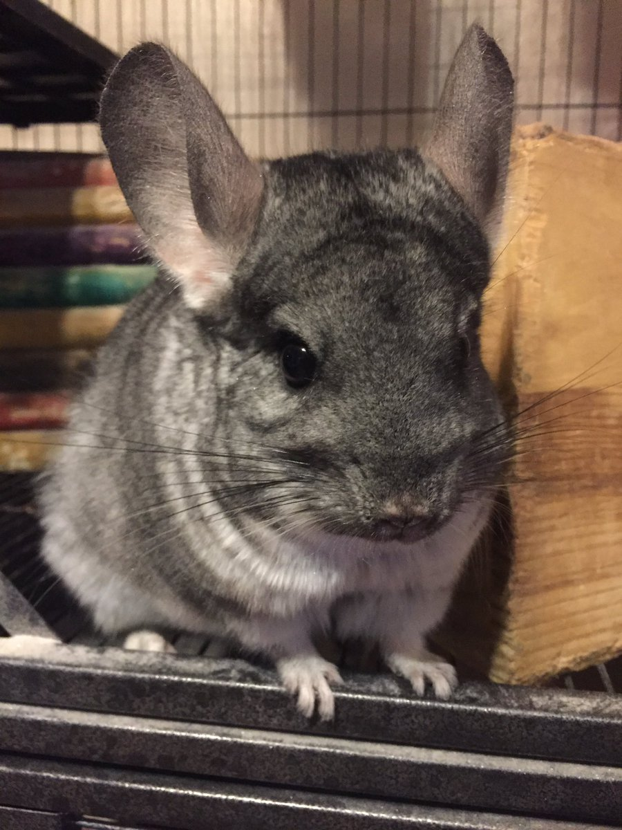 Have a chinchilla boop for your Wednesday evening 🙃