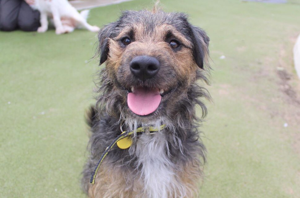 ❤️BAILEY❤️ Check out that cheeky face!! 🏠He's looking for his #ForeverHome now! 👇Meet him here👇 ❤️ bit.ly/jrtBAILEY❤️ #rescuedog #manchester #jackrussellterrier #crossbreed #jackrussell #dogoftheday #ineedahome #cheekyface #happyface #adoptdontshop @DogsTrust