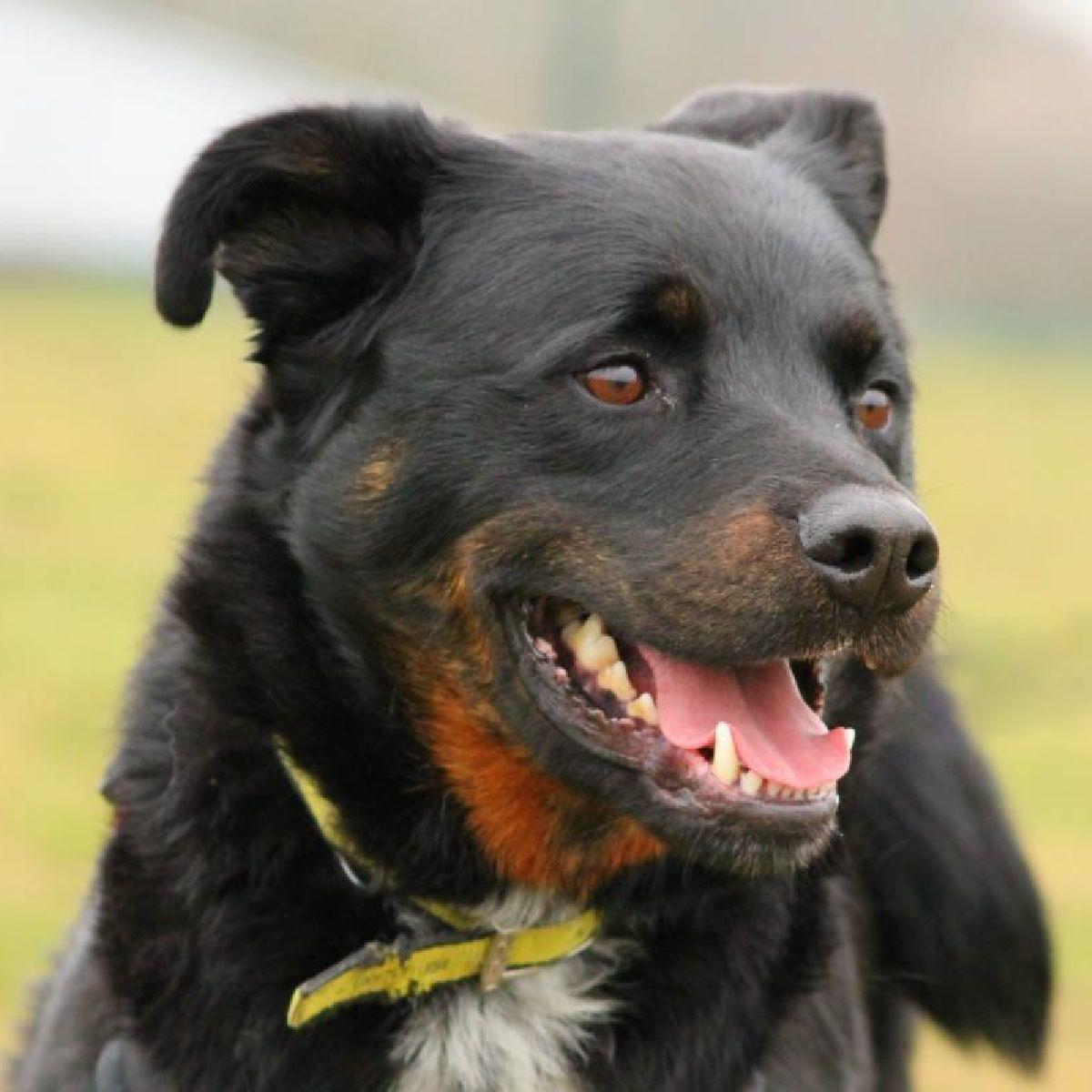 Dan is a playful boy who loves balls & tuggy toys 😍 Hes incredibly bright & eager to learn 🐾 Hes also convinced that hes a lap dog! 🐶 Dan has a worried side, but will make the perfect companion in the right home 🏡 Dan is at Dogs Trust Evesham 👉fal.cn/33zPf