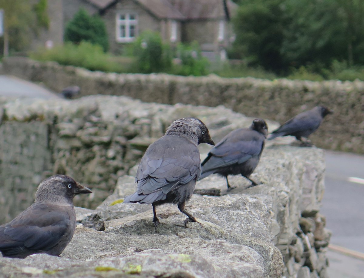 Jackdaws prepping an indie band album cover in#Grasmere.<br>http://pic.twitter.com/0xQho70LFJ