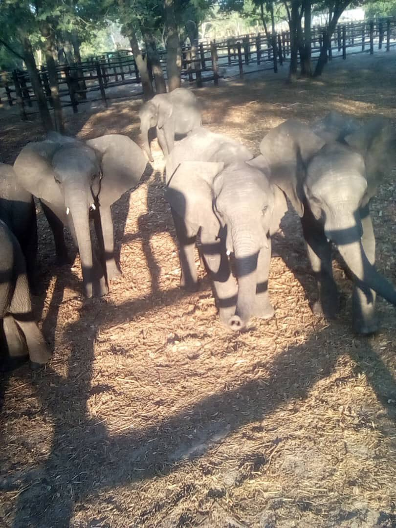 Celebs incl @rickygervais @thandienewton @pamfoundation @bryanadams @MollieKing @JoannaLumleyUK urge EU at #CITESCoP18 to vote to END wild baby #elephants being snatched for zoos. Shockingly, when debate is reopened #EU & #USA will vote to keep trade. telegraph.co.uk/news/2019/08/2…