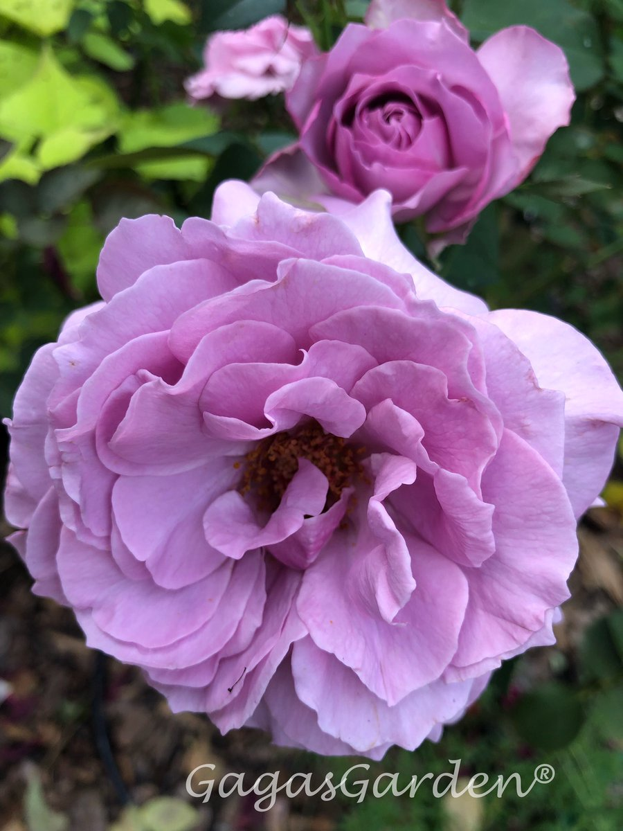 'Love Song' magically brings us into a summer week-end!   #HappyFriday #WeeksRoses #LoveSong<br>http://pic.twitter.com/gZ59MVzdwK