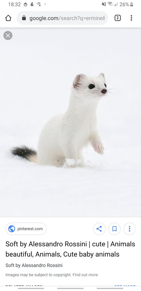 was telling @luigina about His Dark Materials earlier and was describing what an ermine stoat was and just opened chrome that still had this tab open what a nice treat for me thanks past callum https://t.co/9kV6e8dxcI