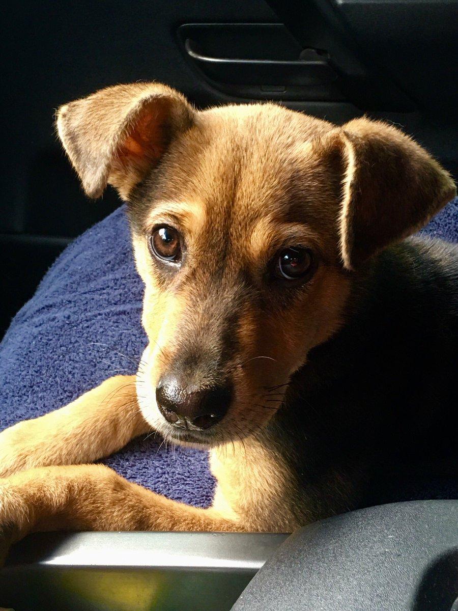 Everyone meet my new foster girl....Paisley  @K9Sid @k9_raider @Love4PoliceDogs @Boxster240 @K9Garm @sassysgoodies @k9danka<br>http://pic.twitter.com/dbrKasHOC9