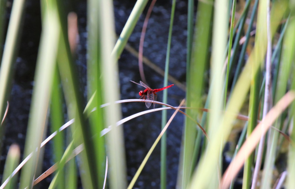 Broad Scarlet dragonfly in Malta 💚 #TBThursday #Malta #WildlifePhotography #nature #insects