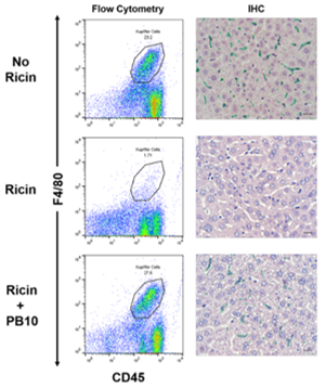 Sensitivity of Kupffer cells & liver sinusoidal endothelial cells to ricin toxin and ricin toxin–Ab complexes https://t.co/8g3OIKtuZH https://t.co/65Ysk7M4eN