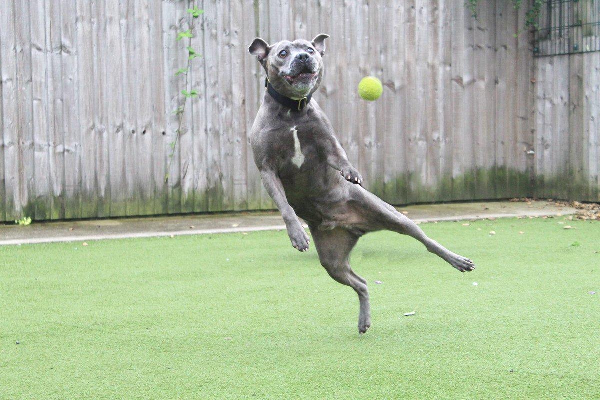 😂You're welcome!!😂 🐶👉 bit.ly/mcrMAXstaffy👈🐶 #rescuedog #manchester #staffy #staffylove #dogoftheday #needsahome #fetch #funnydog #instafunny #hilarious #laughoutloud #thursdaymotivation #feelgood #bluestaffy @DogsTrust