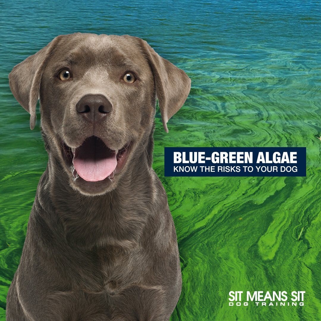 Dogs can develop poisoning when they drink from, or even simply swim in, contaminated water sources. If blue-green algae is ingested, it can cause severe neurologic or liver damage. Learn More about #BlueGreenAlgae at | https://t.co/WSkUaxg23k https://t.co/eoGnhoGy3J