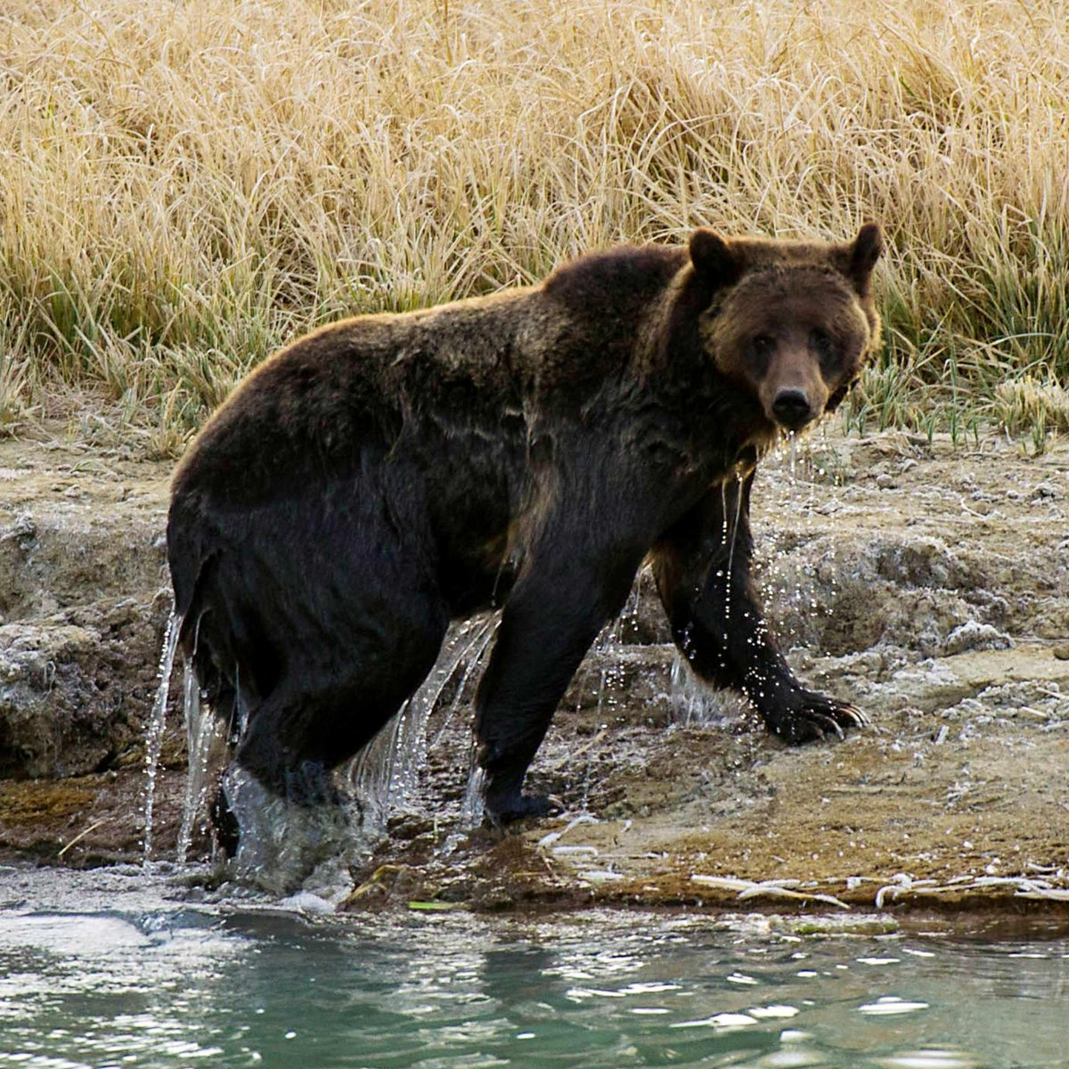Environmental groups are suing to save the Endangered Species Act, after the Trump admin. announced new rules that would limit animal protections and ignore the effects of climate change.  It is credited with saving animals like the grizzly bear and bald eagle from extinction. <br>http://pic.twitter.com/IzRZOjUH5s