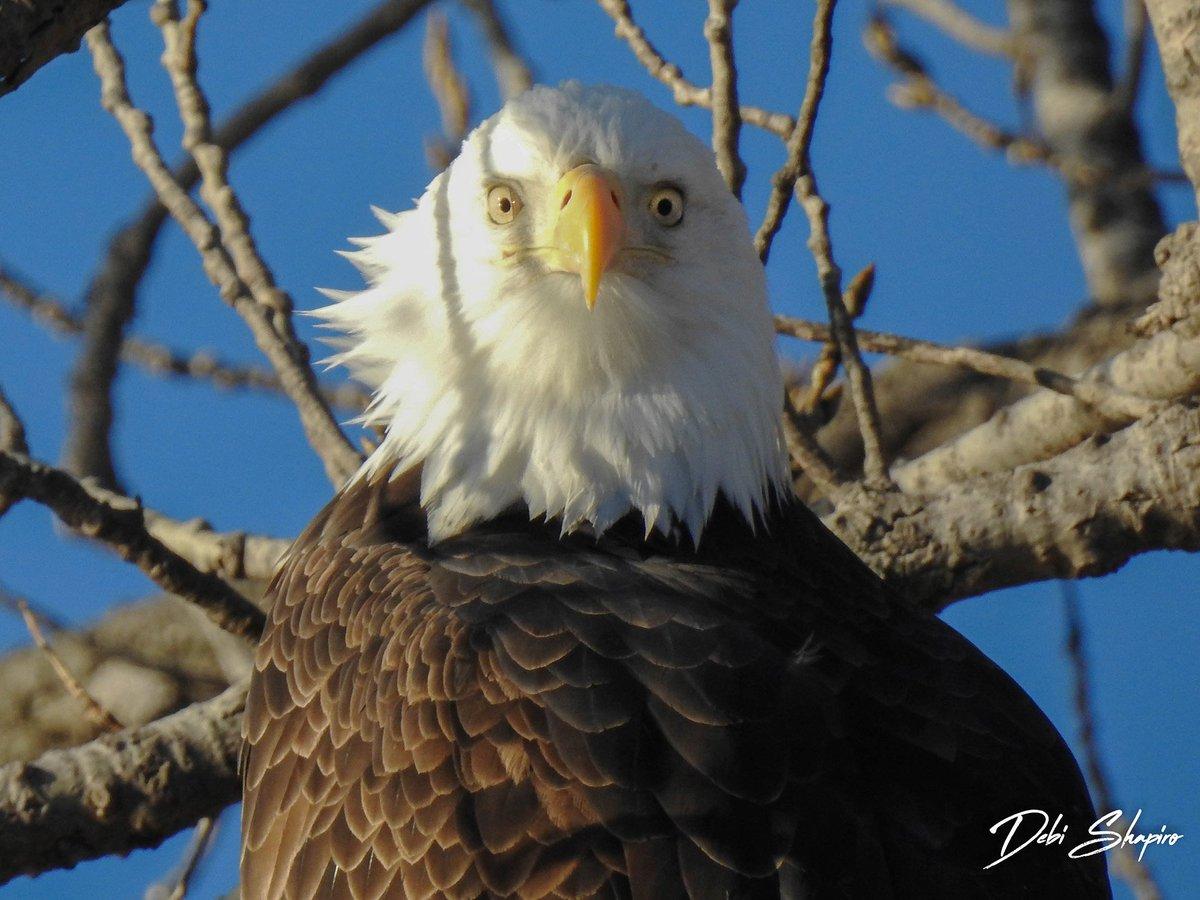 (Photo courtesy of Debi Shapiro) #baldeagle #birdsofprey #raptors<br>http://pic.twitter.com/BHte6SMyy9