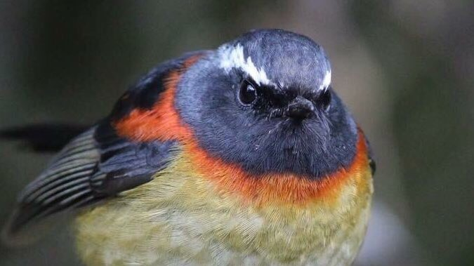 Yeah, and what are you going to do about it!  Collared Bush-Robin <br>http://pic.twitter.com/G4mwYdVXRg