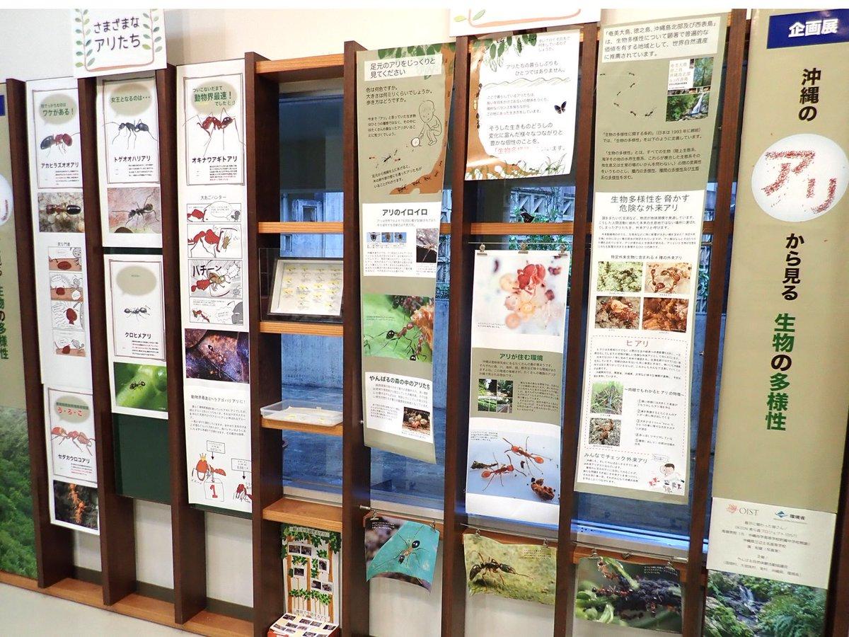 やんばる野生生物保護センターでは、「おきなわのアリから見る生物の多様性」という展示が行われています。沖縄でアリを研究する高嶺さんが採集した標本も展示されていて、僕も一度も見たことがない珍しいアリも数多く展示してあり、夢中になって見てしまいました。