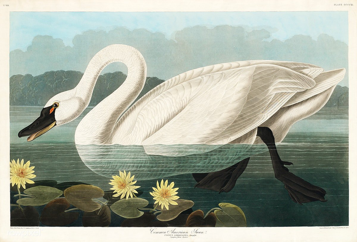 Common American Swan from Birds of America (1827) by John James Audubon, etched by Robert Havell. The original Birds of America is the most expensive printed book in the world and a truly awe-inspiring classic. Download this image: https://t.co/wdt3TYxlLO https://t.co/t5kVZNTUyo