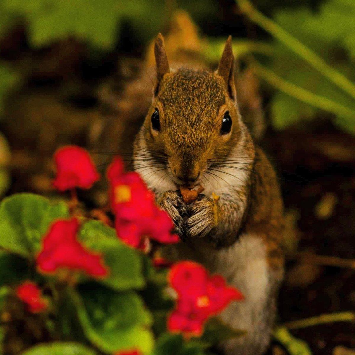 Have a great Friday! #squirrel #squirrelphoto #squirrelsofinstagram #orava #kurre #ekorre #animal #animalover #naturephotography #nature #beautyofnature #animalportrait #squirrelportrait #londonsquirrelpic.twitter.com/T8CygEbmYa