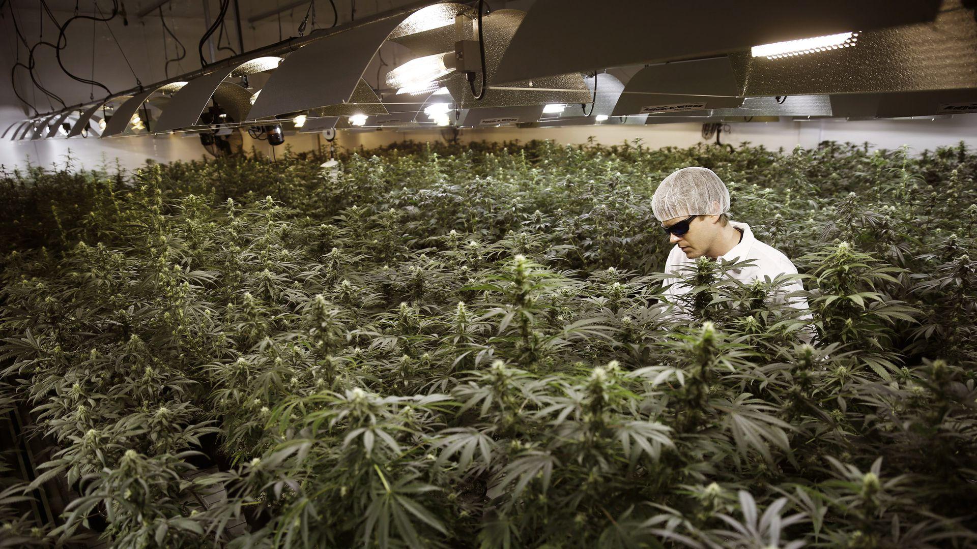 Посадить за курение могут марихуаны ли конопли всходы семян