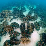 """Image for the Tweet beginning: """"Four species of giant clams"""