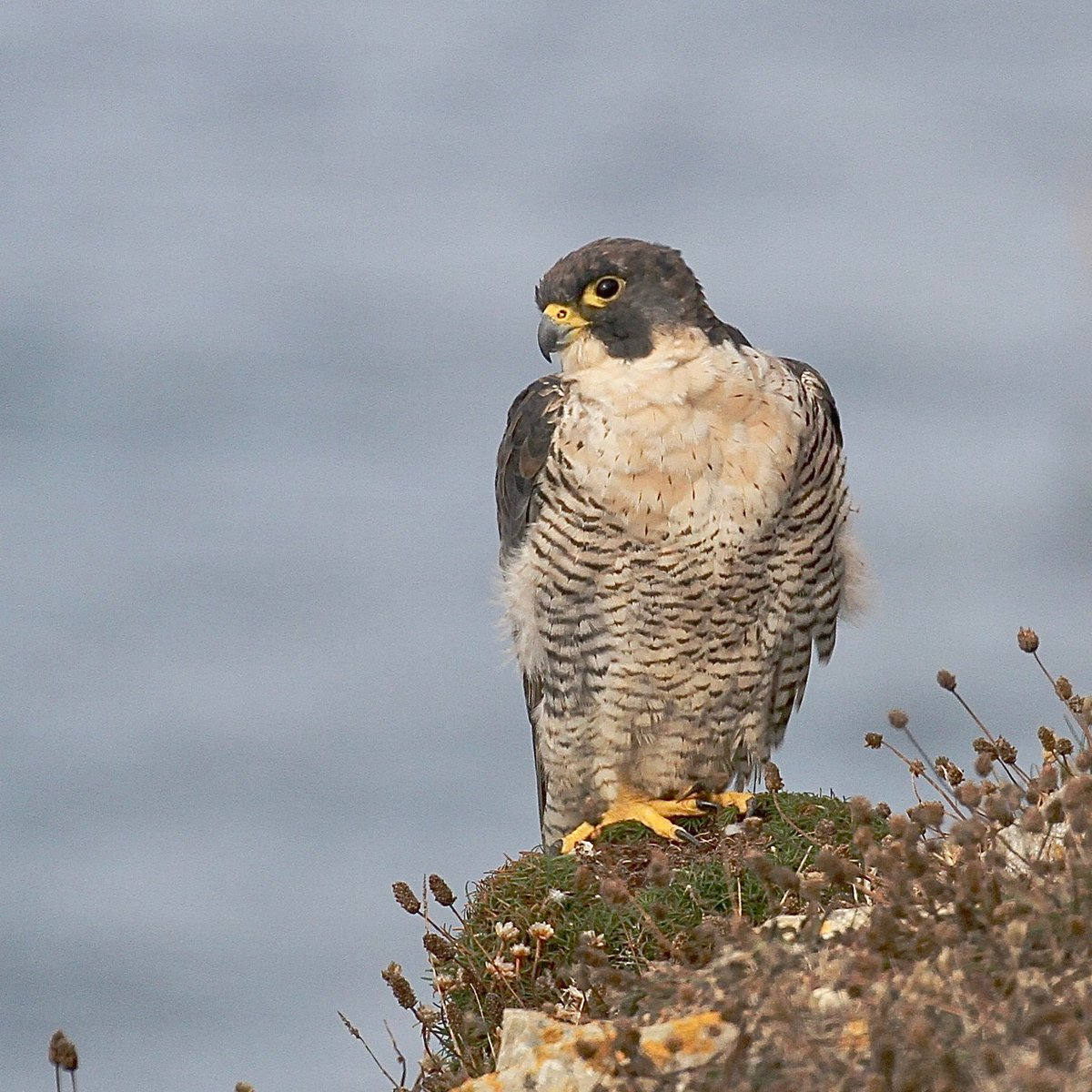 Early morning Peregrine on the Purbeck cliffs - always a pleasure to see #dorsetwt<br>http://pic.twitter.com/n98zD13UTs