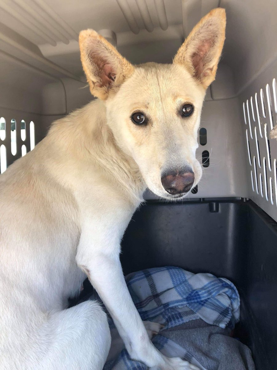 Rescued by White GSD Rescue Thank you everyone for your help   https:// twitter.com/stwissmann/sta tus/1158868960827379712  … <br>http://pic.twitter.com/uOIJfTvv3R