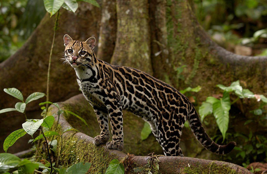 Amazon rainforest cat. I'm worried about these guys.
