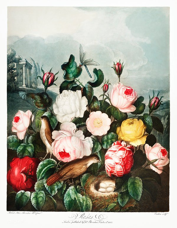 Roses from The Temple of Flora (1807) by Robert John Thornton. Original from Biodiversity Heritage Library. Digitally enhanced by rawpixel. Download this image: https://t.co/qDY7HG2y71 https://t.co/9Ans0XCd2p