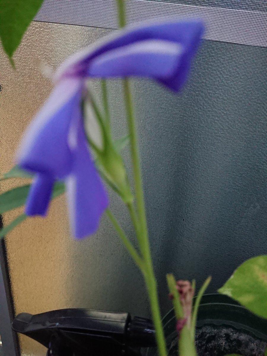 イマニワ〜 朝顔の青笹葉🤗🤗 #golf897 #take1134 #いまにわ  #イマニワ https://t.co/yhcN7YDPsJ