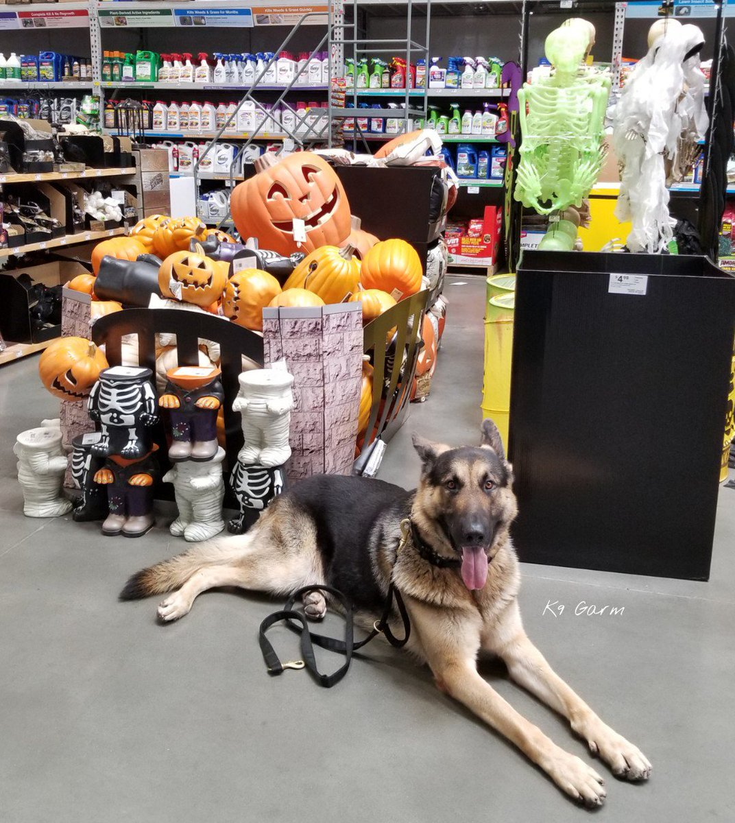 Thats it, its official! Once the fall/Halloween decor comes out at Lowes its officially the hap-happiest time of the year!  #K9Garm #SARK9 #dogsoftwitter #dog #dogs #germanshepherd #gsd #moosedog #FaMoose<br>http://pic.twitter.com/TSLIYXInYI