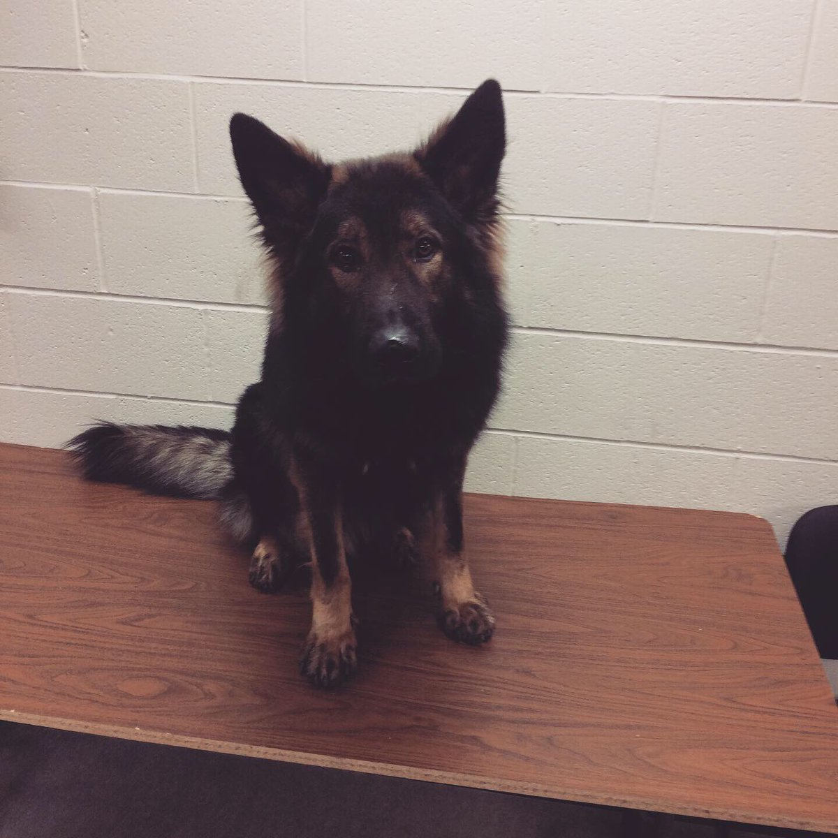 Drive drunk, crash your vehicle, run away and hide under a trailer. Yes we train for that. PSD Havoc with the track and capture. #germanshepherd #policedog #k9 #jail<br>http://pic.twitter.com/CVKNuiuBpQ