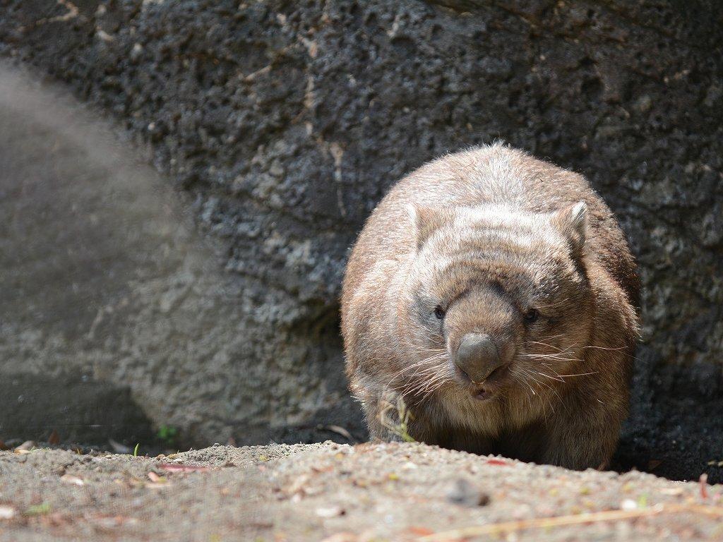 そして今日24日は金沢動物園で暮らしたウォンバット、ヒロキの命日。「ヒロキ」という名前がどういうことなのか、それがどう運命を決めたのかみたいなことは当時書いた→ か、本の後書き→ などに書いてあります。よろしければどうぞ。