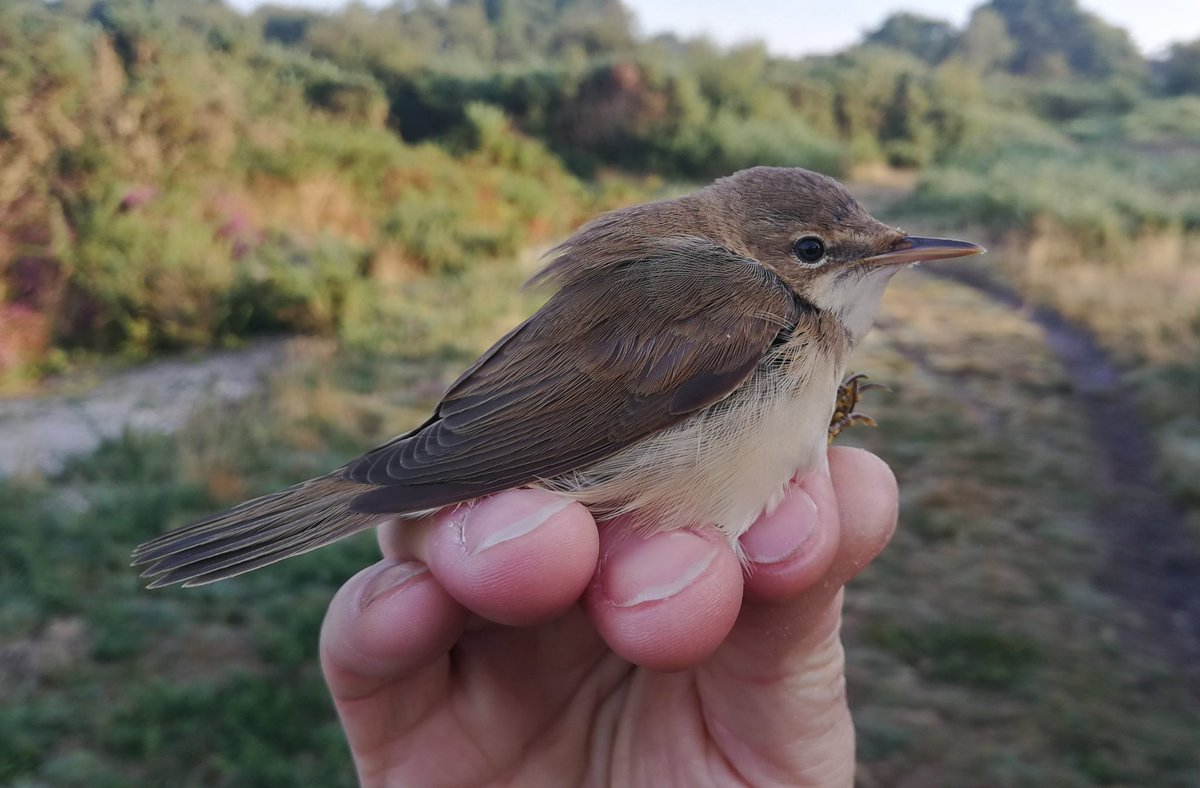Nice surprise to start the day with a Norwegian ringed Reed Warbler #LytchettBay #Dorset  @_BTO @harbourbirds<br>http://pic.twitter.com/286oP5Z2r7