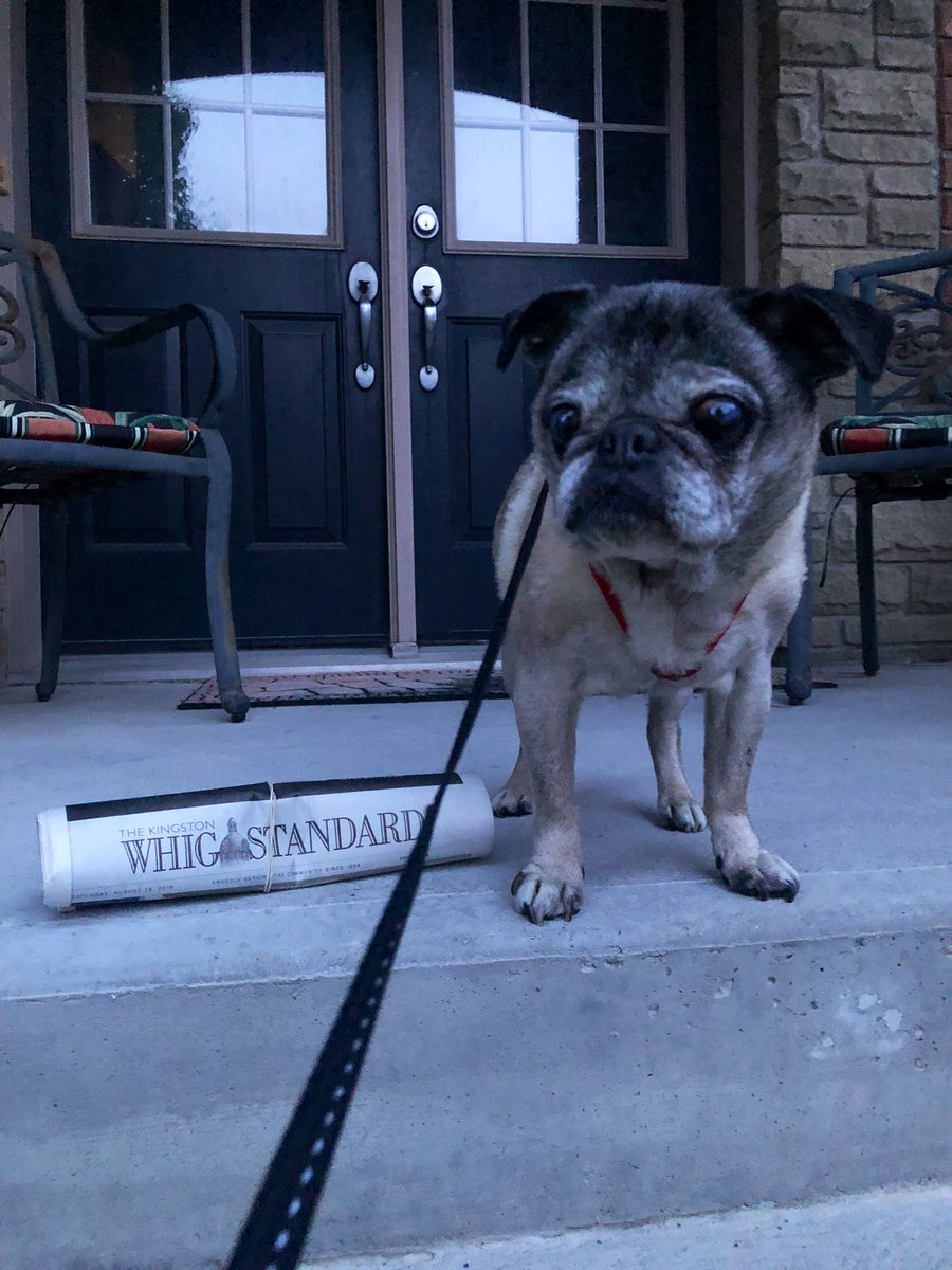 Although not much of a reader himself #Lewis always loves it when the @WhigStandard arrives just before his #SaturdayMorning walk. #dogslife