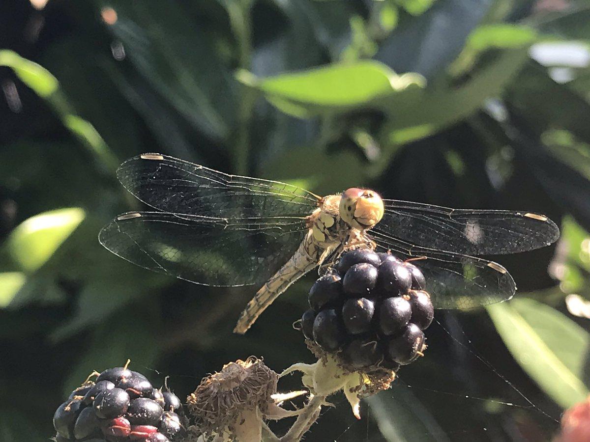 Just a smiley dragonfly enjoying a blackberry #BankHoliday https://t.co/XHpaDHJRV7