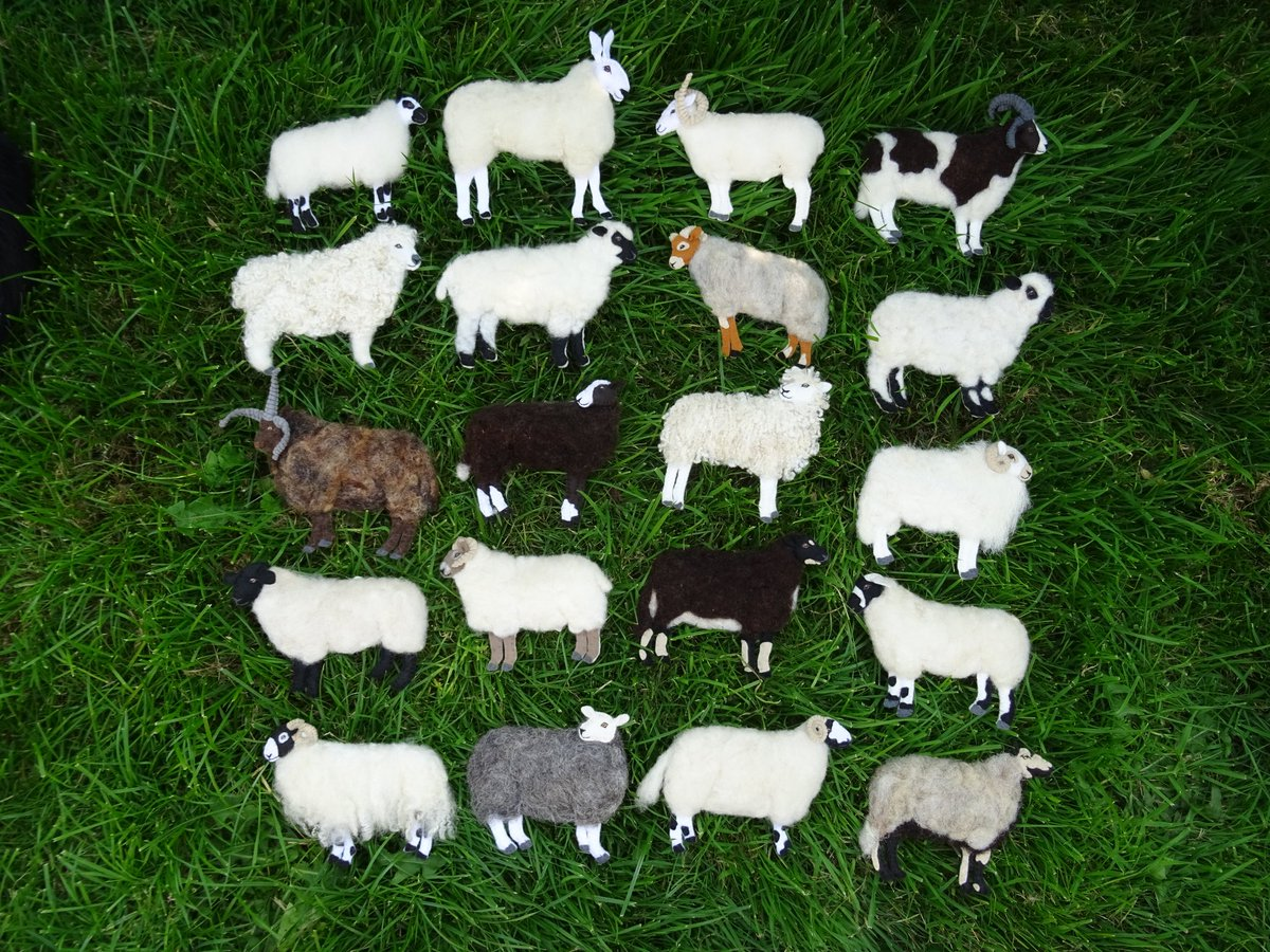 Been busy taking photos for a magazine article coming up in the next few months. It's not quite the full #British Sheep range in one place as the Scots Blackface, Poll Dorset, Exmoor Horn & Epynt Hardy Speckle are missing, & the Zwartbles has snuck in from the Netherlands  <br>http://pic.twitter.com/tdIEAb50RP