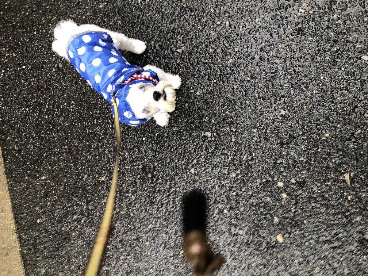 test ツイッターメディア - お散歩の途中で雨が降ってきて お散歩バックに入れていた ダイソーで購入した レインコートが役立ちました。 つばさはとっても迷惑そうですw フード被せたら「どこの犬だ?」 そもそも犬かも怪しい感じになりましたw  #マルチーズ大好き倶楽部  #ダイソー #レインコート https://t.co/GYyD3J0Ggf