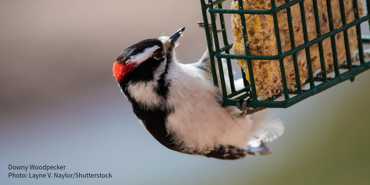 Looking to create a haven for the backyard birds you love? Check out Audubon's collection of bird feeders, houses, and accessories. All products are available at True Value and other retailers.  http:// ow.ly/jS6r30pphLR    <br>http://pic.twitter.com/sox3Py4QdV