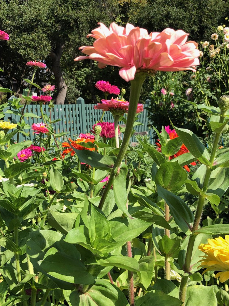 My husband and I took our coffee to the public garden this morning. The zinnias have run wild! #publicgardens #flowers<br>http://pic.twitter.com/ZVYBloMWYM