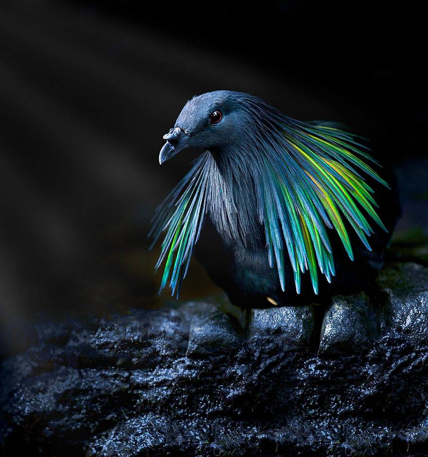 Nicobar pigeon, It's the closest living relative to the extinct flightless Dodo bird, and it's absolutely stunning. <br>http://pic.twitter.com/nGoKygdTUY