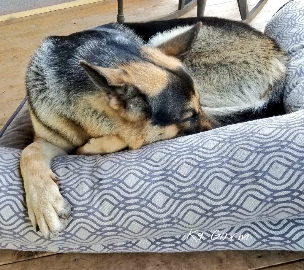 All curled up. #K9Garm #SARK9 #dogsoftwitter #dog #dogs #germanshepherd #gsd #moosedog #FaMoose<br>http://pic.twitter.com/hvolWbfH7D